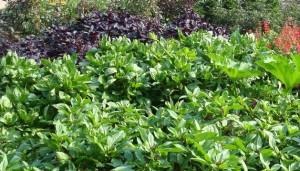 Herb_Basil-Usage2-Garden